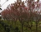 金桂 樱花