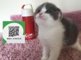 烟台哪里有折耳猫出售 烟台折耳猫价格 烟台宠物猫转让出售