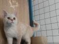 济南加菲猫专业繁育基地特价出售几只成猫和幼猫