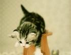 美国短毛猫美短标准银虎斑加白起司猫宠物猫