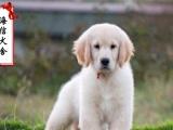 宽嘴大头黄金猎犬金毛 毛色均匀 公母均有 品相到位