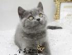 高品质胖嘟嘟英短蓝猫,品相好性格乖巧英短蓝猫宝宝欢