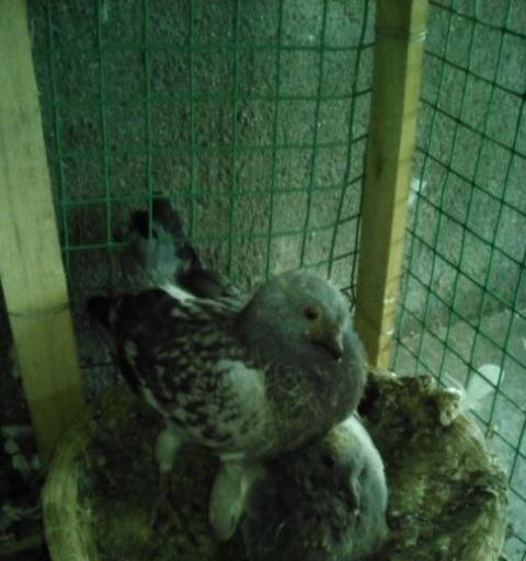 出售白信鸽高飞鸽图片