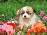 广州出售柯基犬多少钱 广州柯基哪离便宜