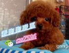 凉芯小型犬泰迪幼犬高品质可爱迷你泰迪宝宝