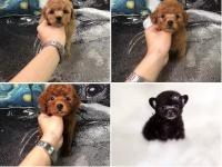 广州狗市 广州泰迪价格 广州宠物狗图片 广州哪里有狗卖