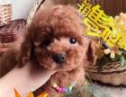 韩系精品泰迪幼犬纯种健康 专业狗舍繁殖 放心饲养