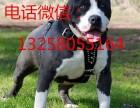 护卫斯塔福犬的价格图片 纯种斯塔福犬幼犬多少钱一条