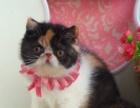 专业繁殖加菲猫出售价格实惠