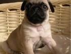 精心养殖 纯种巴哥犬 公母均有 包犬瘟细小