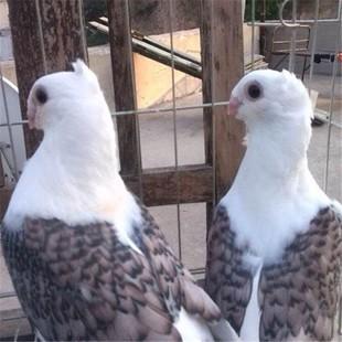 大体白色元宝鸽出售