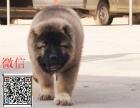 猛犬高加索 大型犬高加索 高加索多少钱