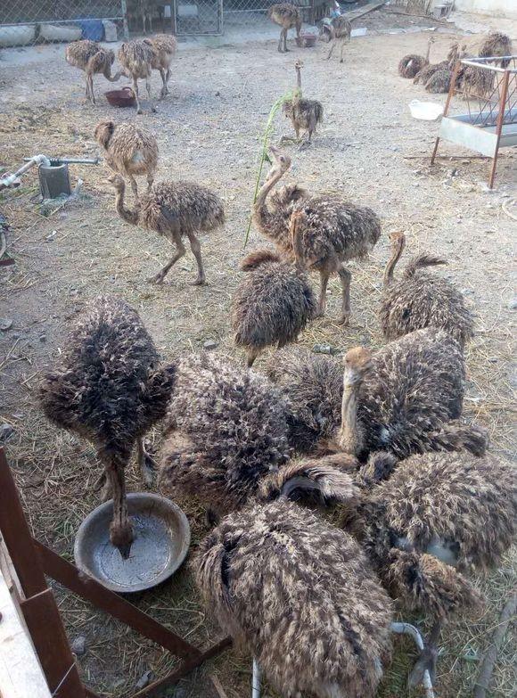 鸵鸟苗的价格黑天鹅养殖孔雀苗哪里有鳄鱼苗