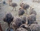 鸵鸟苗孔雀苗黑天鹅观赏鸭鳄鱼苗神宠羊驼迷你马骆驼出售
