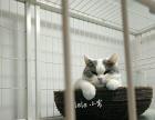 乐乐家猫咪,英短蓝白三花,家庭式喂养