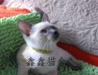 纯种泰国暹罗猫 淡紫色暹罗猫咪 蓝色大眼
