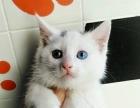 可爱萌鸳鸯眼小白猫680元/只 有眼缘喜欢请直接来看实物