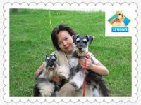 成都哪里有卖精品雪纳瑞幼犬 多少钱一只 迷你雪纳瑞图片