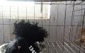 金鱼观赏鸽 眼睛球观赏鸽 摩登娜观赏鸽等60多种出售