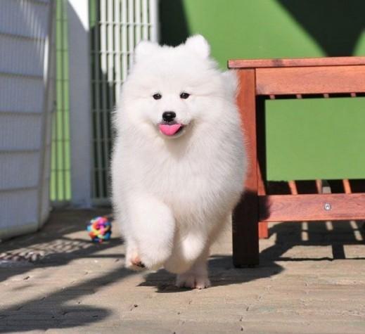 诚信VIP商铺一一 犬舍直销 专注繁育冠军幼犬