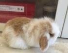 宠物兔垂耳兔道奇兔出售喜欢赶紧联系我吧