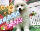 纯种澳版萨摩耶萨摩耶犬签协议包纯种健康 父诩