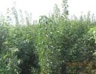 山东潍坊青州彩叶绿化苗木彩叶豆梨新树种价格贵吗