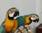 金刚鹦鹉,蓝黄鹦鹉,灰鹦鹉,大型鹦鹉