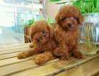 昆明 泰迪幼犬 纯种安康保证 疫苗驱虫已做 签协议包售后