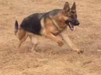 精品杜高犬 凶猛杜高犬 自己繁殖 品相一流 上门看狗
