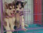出售纯种双蓝眼哈士奇犬活体宠物狗狗二哈幼犬大型 哈