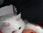 蓝眼长毛白猫转让
