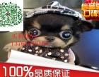 苹果头 大眼睛/纯种墨西哥吉娃娃出售快来选购吧