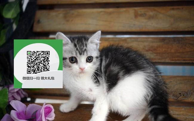 楚雄哪里有虎斑猫出售 楚雄虎斑猫价格 楚雄宠物猫转让出售