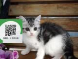 烟台在哪里卖健康纯种宠物猫 烟台哪里出售虎斑猫