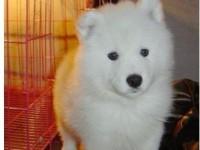 杭州本地犬舍出售纯种幼犬,萨摩耶,血统纯正,保证健康