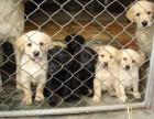 精品拉布拉多幼犬 纯种健康 疫苗齐全签协议
