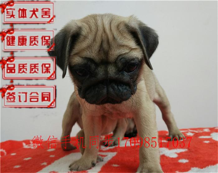 哪里有出售出售纯正鹰版满脸褶皱巴哥幼犬宝宝专业繁殖多少钱