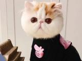 天津本地正规猫舍出售高品质纯种金渐层,蓝金渐层猫