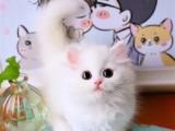 曼基康矮脚猫幼崽英国短毛宠物猫活物纯种拿破仑猫咪