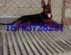 沈阳哪里出售三个月莱州红犬,多少钱一只莱州红幼犬,莱州红价格