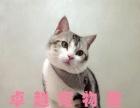 杭州猫舍出售自己家养繁殖超萌美短加白宠物猫