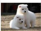 萨摩耶犬萨摩耶幼犬家养繁殖活体出售