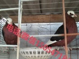 出售观赏鸽毛领鸽 凤尾鸽 摩登娜种鸽出售