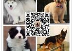 买纯种阿拉斯加幼犬视频看狗 送狗上门-可签协议
