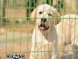 专业养殖基地—30只拉布拉多幼犬待售—实物拍摄
