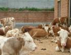 山西良种场育肥牛市场价格