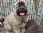嘉兴哪有高加索犬卖 嘉兴高加索犬价格 嘉兴高加索犬多少钱