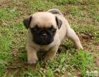 转让家巴哥幼犬是短毛,小狗狗憨厚皱皱 可爱大气
