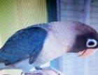 转让牡丹鹦鹉种鸟,幼鸟